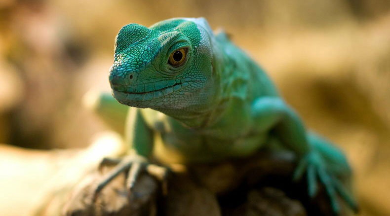 Zoo Animal Welfare - Lizard