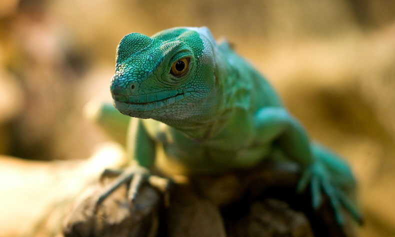 ZooAnimalWelfare-Lizard
