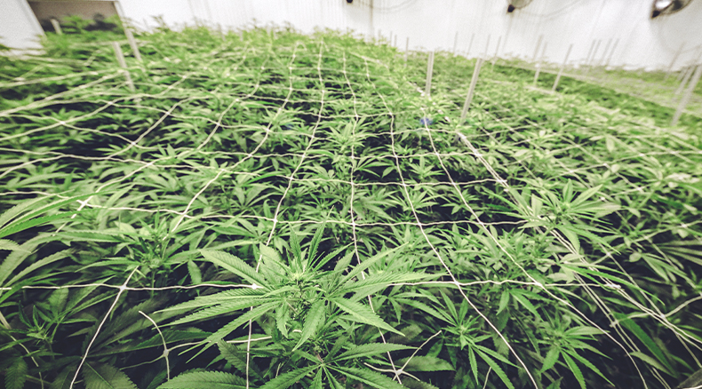 Choosing the Right Monitoring System for Cannabis Growing Facilities