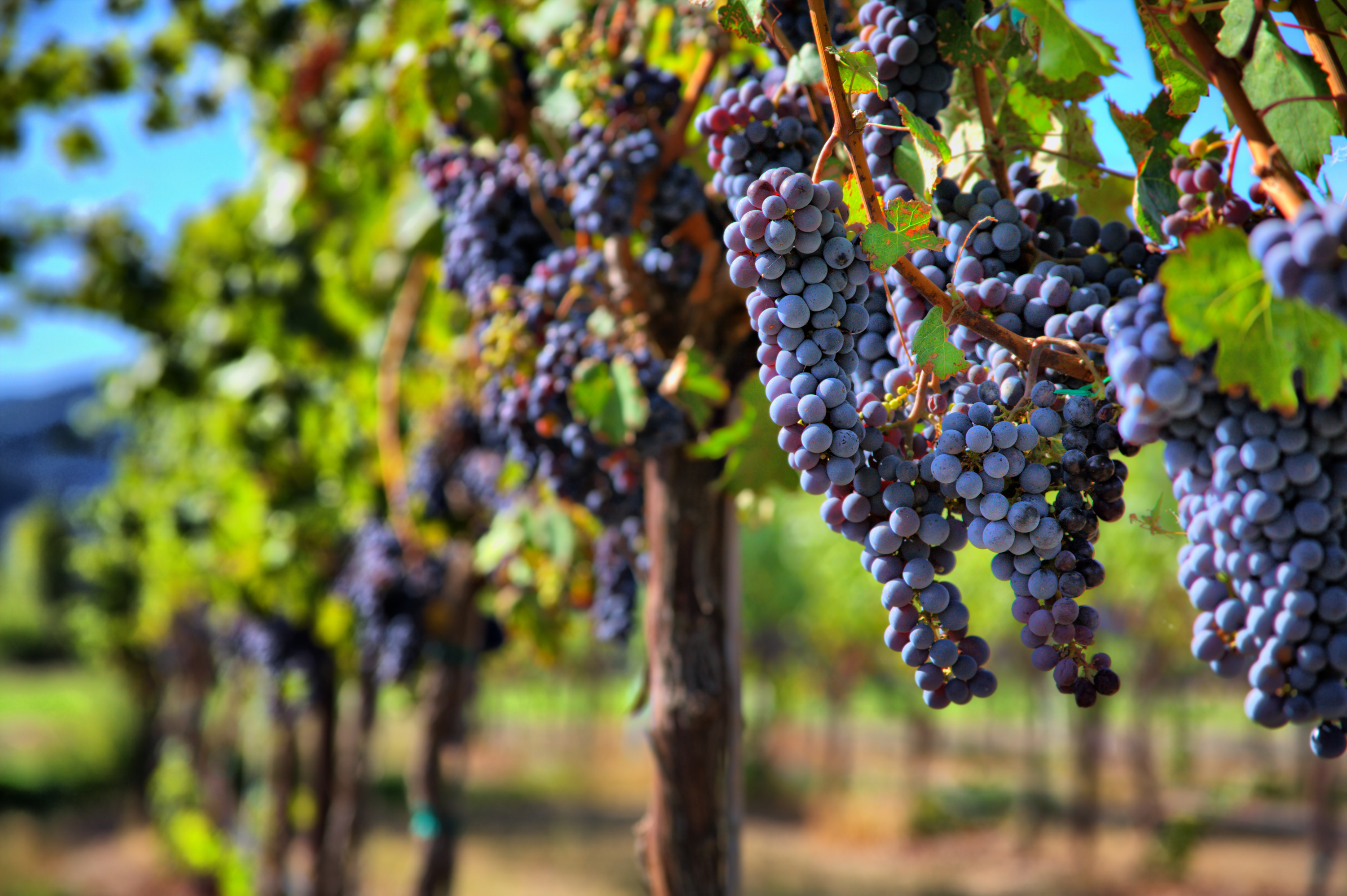 Vineyard Operators Rely on Environmental Monitoring to Keep Grapes Healthy